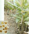 豆蔻草是什么,龙猫能不能吃